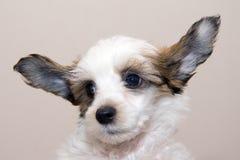 Cucciolo crestato cinese della razza Fotografie Stock