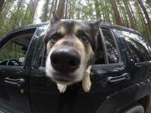 Cucciolo curioso Fotografie Stock Libere da Diritti