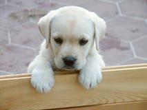 Cucciolo curioso del Labrador: che cosa è in su Immagini Stock Libere da Diritti