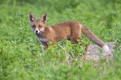 Cucciolo curioso della volpe Fotografia Stock