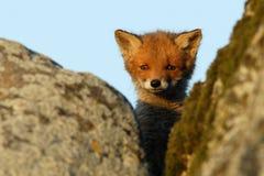 Cucciolo curioso della volpe rossa Immagine Stock Libera da Diritti