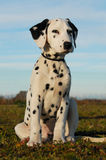 Cucciolo Dalmatian Fotografie Stock Libere da Diritti