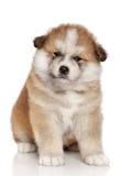 Cucciolo del Akita-inu Fotografie Stock Libere da Diritti