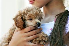 Cucciolo del barboncino. Fotografie Stock Libere da Diritti