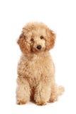 Cucciolo del barboncino dell'albicocca Fotografia Stock