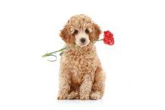 Cucciolo del barboncino dell'albicocca con il garofano rosso Fotografia Stock Libera da Diritti
