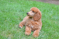 Cucciolo del barboncino dell'albicocca nell'erba Immagini Stock