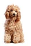 Cucciolo del barboncino dell'albicocca su priorità bassa bianca Fotografia Stock