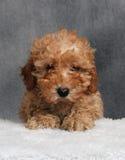 Cucciolo del barboncino di giocattolo Fotografia Stock