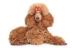 Cucciolo del barboncino di giocattolo su un fondo bianco Immagine Stock Libera da Diritti