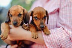 Cucciolo del bassotto tedesco Donna al parco che tiene il suo cane Holdin della donna Immagine Stock