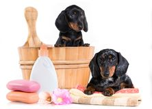 Cucciolo del bassotto tedesco in lavabo di legno Immagini Stock