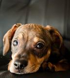 Cucciolo del bassotto tedesco in un sedile Fotografia Stock