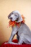 Cucciolo del blu di Weimaraner Fotografia Stock