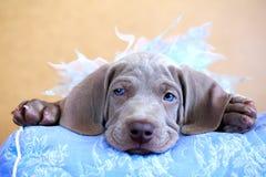 Cucciolo del blu di Weimaraner Fotografie Stock Libere da Diritti