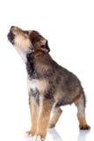 Cucciolo del Brown che whinning fotografie stock