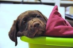Cucciolo del Brown Labrador Immagine Stock