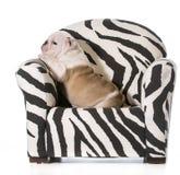 Cucciolo del bulldog Fotografie Stock Libere da Diritti