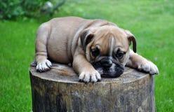 Cucciolo del bulldog immagine stock