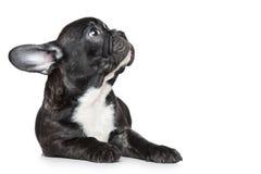 Cucciolo del bulldog che osserva in su fotografia stock