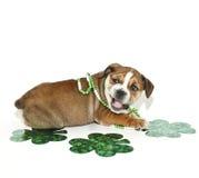 Cucciolo del bulldog di giorno della st Patricks. Immagine Stock