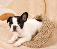 Cucciolo del bulldog francese Fotografia Stock Libera da Diritti