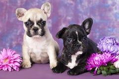Cucciolo del bulldog francese Fotografie Stock Libere da Diritti