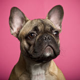 Cucciolo del bulldog francese, 5 mesi Fotografia Stock Libera da Diritti