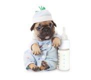 Cucciolo del bulldog francese con una bottiglia di latte Fotografia Stock Libera da Diritti