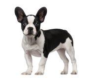 Cucciolo del bulldog francese (3 mesi) Fotografie Stock Libere da Diritti