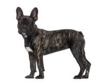 Cucciolo del bulldog francese (5 mesi) Fotografie Stock Libere da Diritti