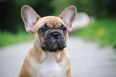 Cucciolo del bulldog francese su una passeggiata fotografie stock
