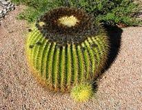 Cucciolo del cactus di barilotto Immagini Stock