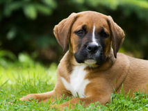Cucciolo del cane Fotografia Stock Libera da Diritti