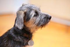 Cucciolo del cane bastardo dell'animale domestico del cane degli animali a casa che si siede sul pavimento Immagini Stock