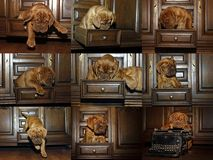 Cucciolo del cane del Bordeaux - mastino francese - raccolta della foto Immagini Stock