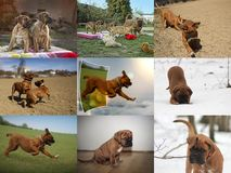 Cucciolo del cane del Bordeaux - mastino francese - raccolta della foto Fotografia Stock