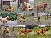 Cucciolo del cane del Bordeaux - mastino francese - raccolta della foto Immagine Stock Libera da Diritti