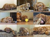 Cucciolo del cane del Bordeaux - mastino francese - raccolta della foto Fotografia Stock Libera da Diritti