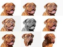 Cucciolo del cane del Bordeaux - mastino francese - raccolta della foto Immagini Stock Libere da Diritti
