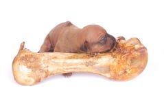 Cucciolo del cane che dorme sul grande osso fotografia stock