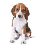 Cucciolo del cane da lepre Immagini Stock