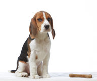 Cucciolo del cane da lepre Fotografia Stock