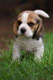 Cucciolo del cane da lepre Fotografia Stock Libera da Diritti