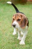 Cucciolo del cane da lepre fotografie stock libere da diritti