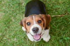 Cucciolo del cane da lepre immagine stock libera da diritti