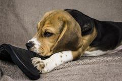 Cucciolo del cane da lepre Immagine Stock