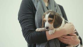 Cucciolo del cane da lepre che dorme sulle mani femminili archivi video