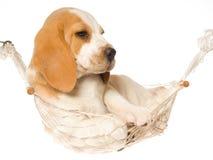Cucciolo del cane da lepre che si trova in hammock bianco Immagine Stock