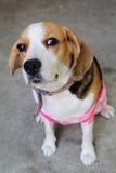 Cucciolo del cane da lepre del ritratto Immagini Stock Libere da Diritti